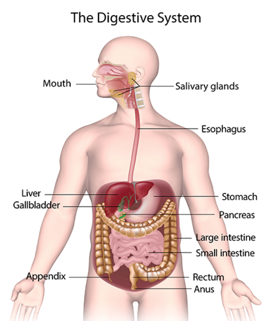 Ls What Organ System Does The Liver Belong To And What Does The